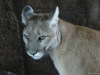 arizona-2009-female-cougar-copy