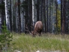 elk-jasper-2011-along-highway-copy