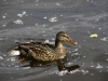 ottawa-mallard-hen-p1150067