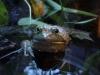 savannah-frog-p1120538