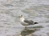savannah-seagull-p1120402