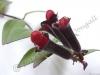 lipstick-plant