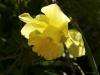nodding-daffodil