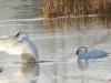 swans-preparing-to-migrate-nov-2011